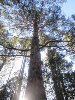 Blue skies thru big pines