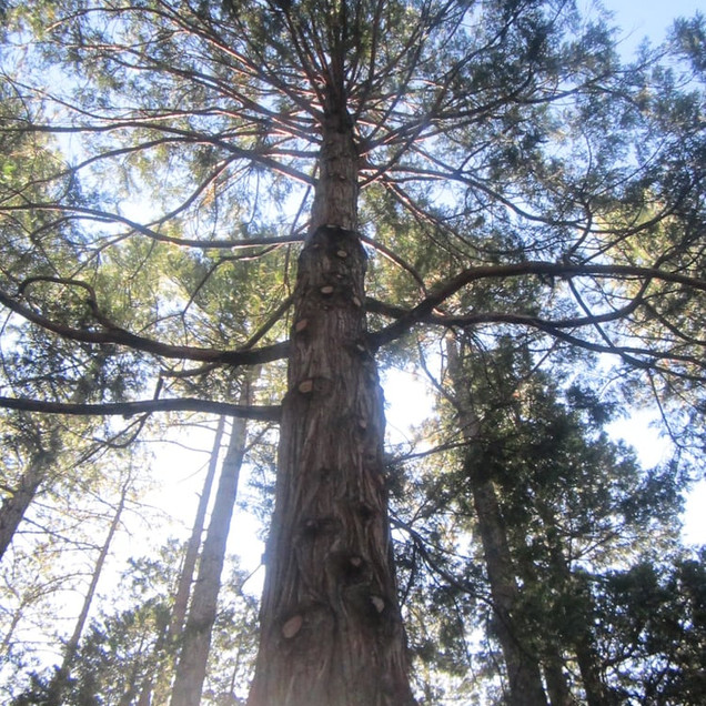 sky view tree idyllwild.jpg