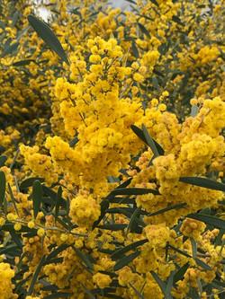 Yellow flowering shrub at RJ