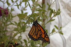 Butterfly at Idyllwild