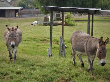 farm animals at jensen.jpg