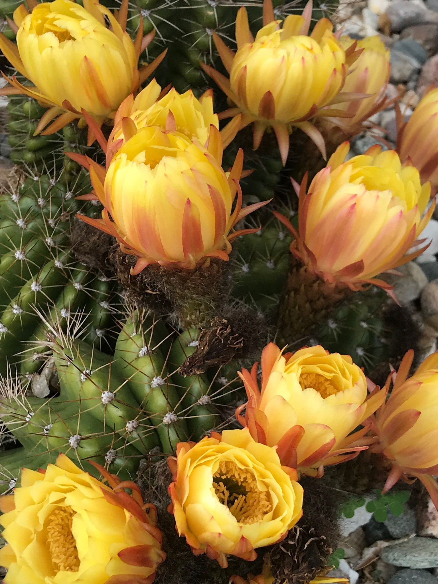 Beauty desert cacti at Cahuilla