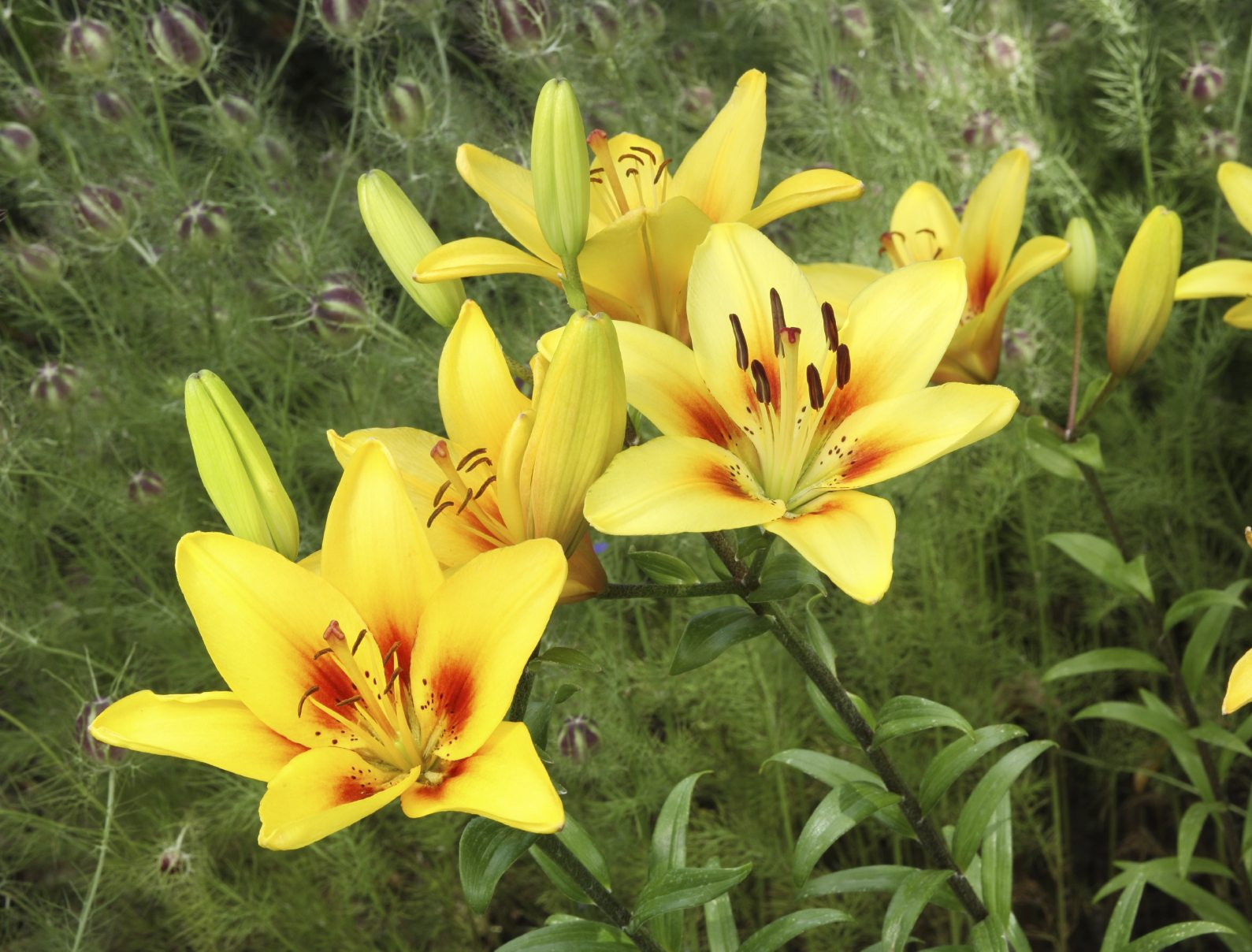 A beautiful clump of Lemon Lillies