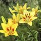 lily-clump.jpg