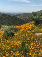More Reserve poppy's.jpg
