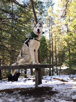 Dog visitor at Idyllwild