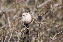Belle's Sparrow.jpg