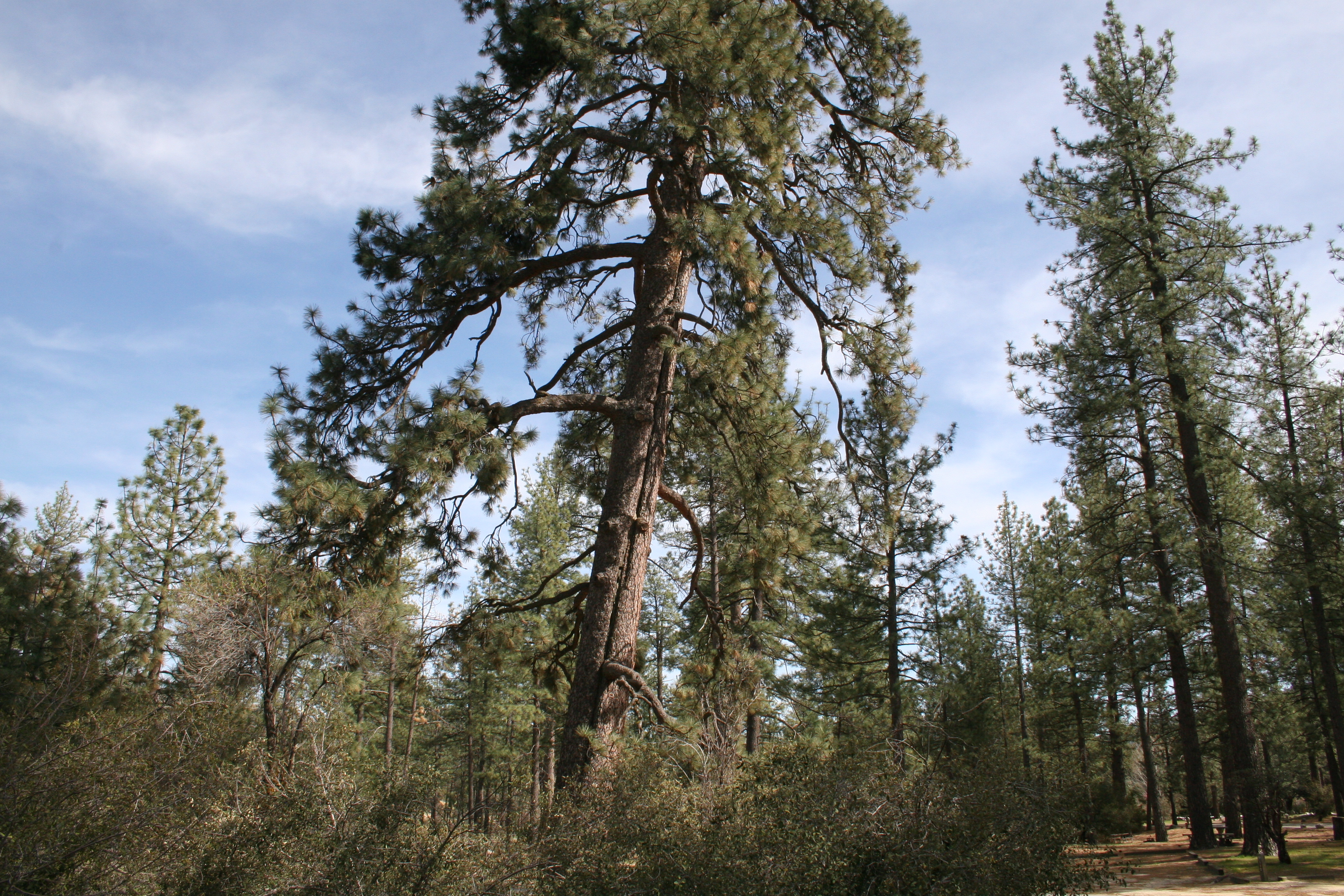 Majestic pines at Hurkey Creek