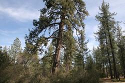 Majestic pines at Hurkey Creek