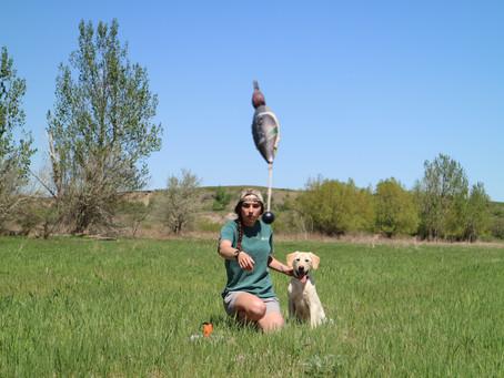 Training a Waterfowl Dog