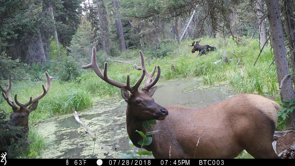 Browning Trail Cam Elk and Moose Picture