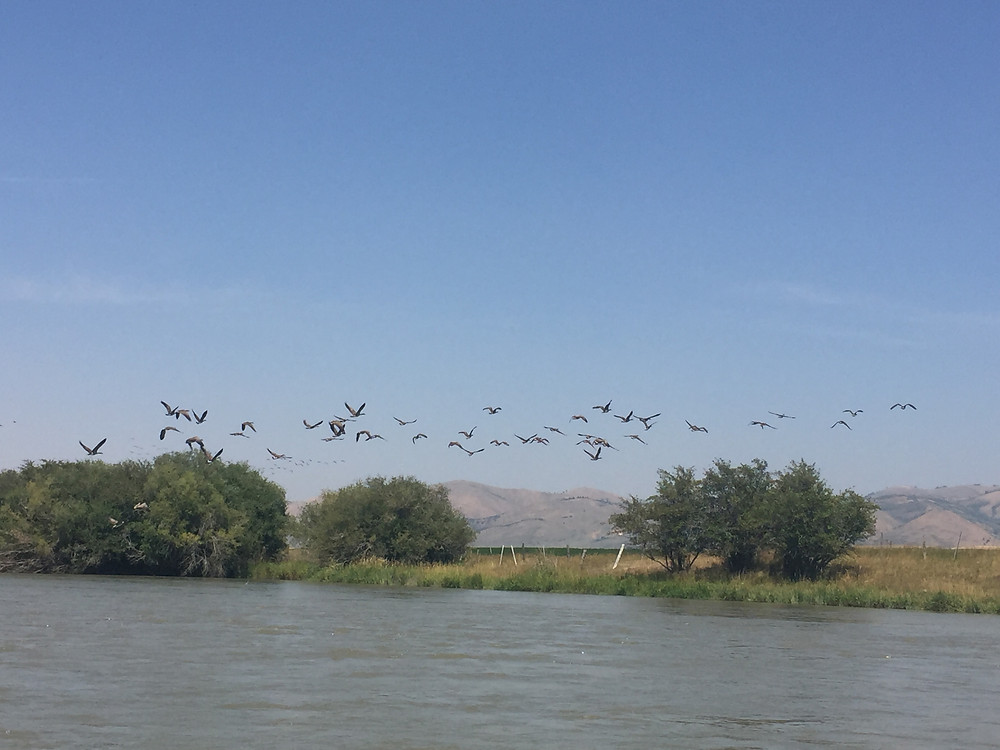 Geese on Bear River