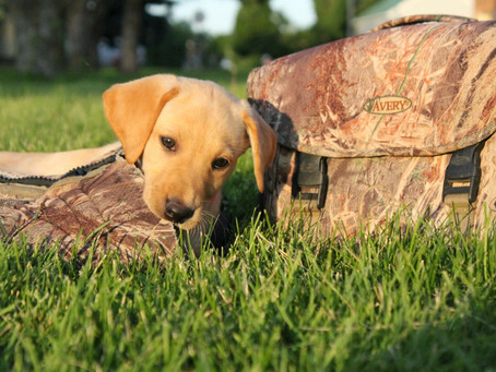 The Joy of a New Puppy - How to Start Training your Bird Dog