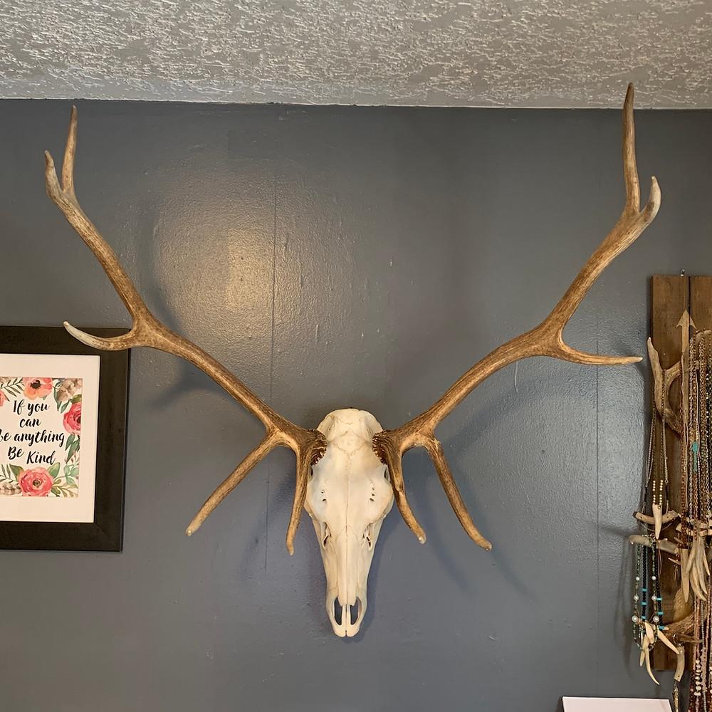 Dead on Display Elk Skull