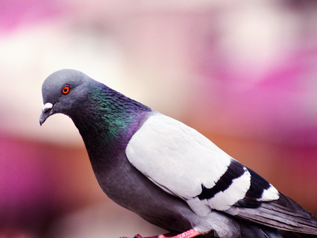 Pigeon Facts!