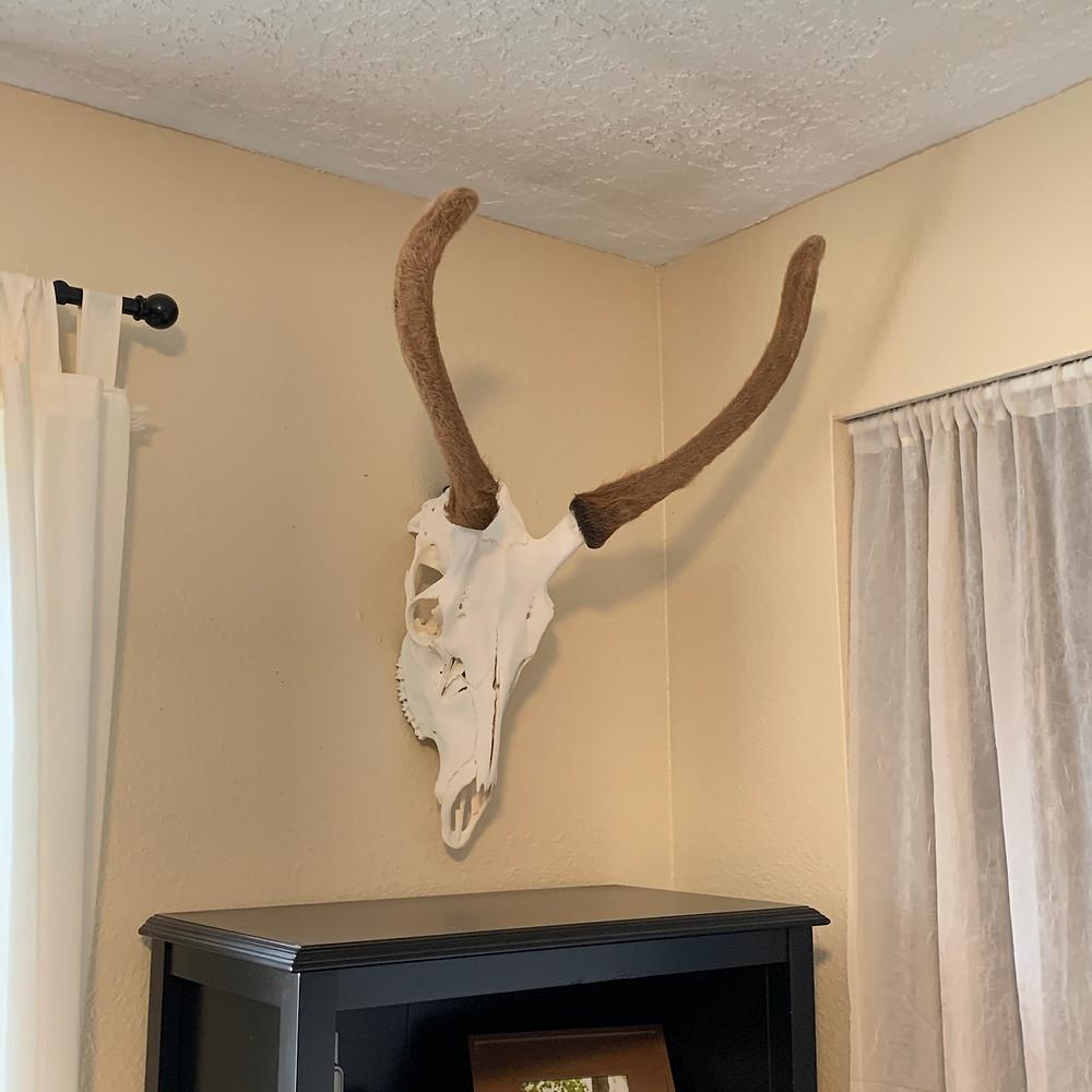 Dead on Display Spike Elk Mount