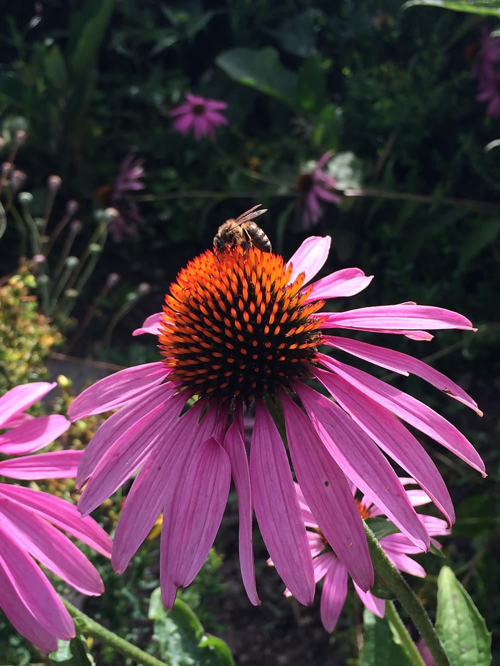 Echinacea (Sonnenhut) im Garten von Vitalis, Team Dr Joseph