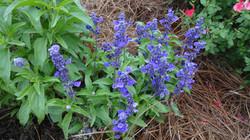 Salvia Evolution BlueJPG