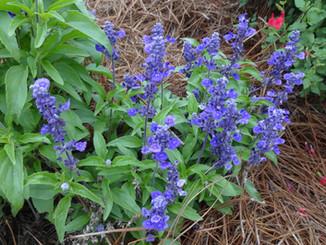 Salvia Evolution Blue