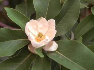 Evergreen Sweetbay Magnolia flowerjpg.jp