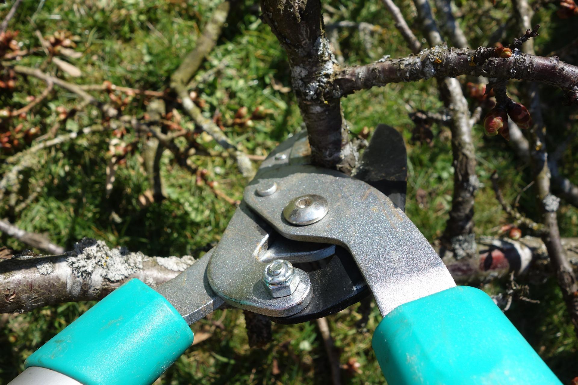 Prun trees