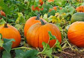 CNY's Favorite Pumpkin Patches