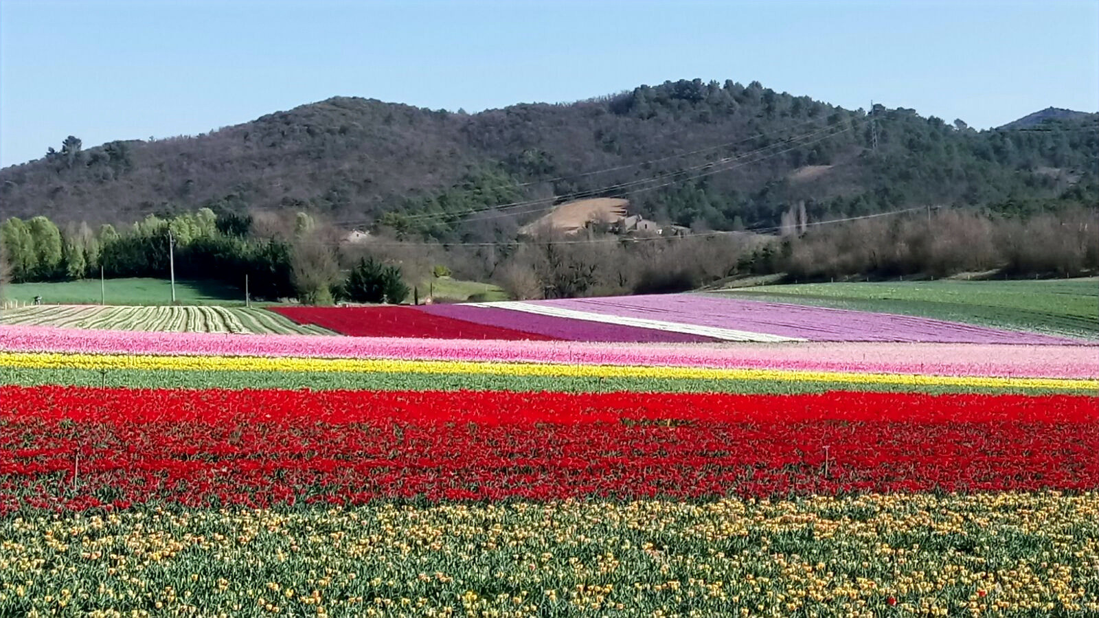 Tulipes en mars-avril