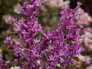 Bloomerang Lilac (Tree Form)