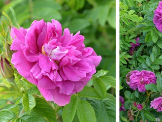Old-Fashioned Shrub Roses to Make You Swoon
