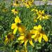 Autumn Sun Rudbeckia