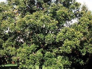 Black Walnut from Story Landscaping