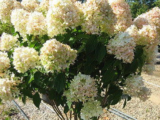 Limelight Hydrangea from Story Landscaping