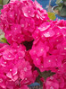Hydrangea Summer Crush