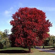 burgundy_belle_maple_tree_1.jpg