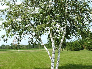 Canoe (Paper) Birch Twin from Story Landscaping