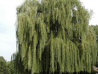 Niobe Weeping Willow from Story Landscaping