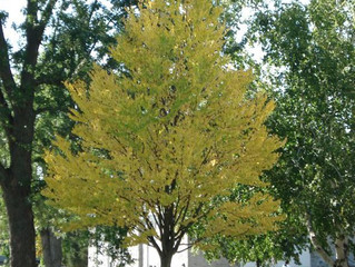 Katsura Tree from Story Landscaping