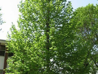 American Sentry Linden Tree from Story Landscaping