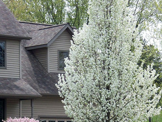 Cleveland Select Pear Tree from Story Landscaping