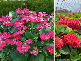 Hydrangeas - When and How to Prune