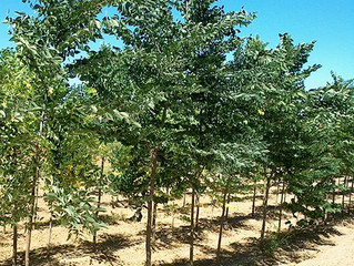 Decaf Kentucky Coffeetree from Story Landscaping