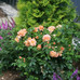 At Last Rose