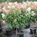 Quick Fire® Tree Form Hydrangea
