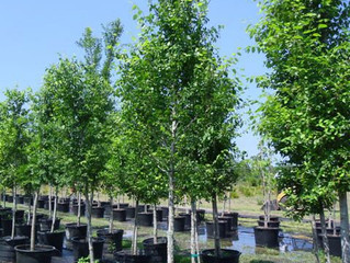 New Harmony American Elm from Story Landscaping
