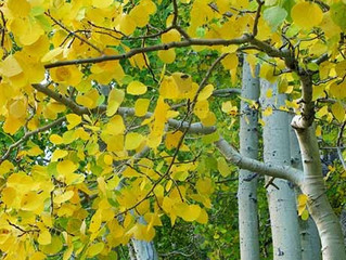 Quaking Aspen (Clump) from Story Landscaping