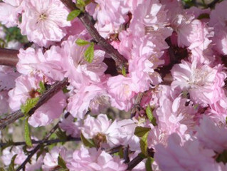 Double-Flowering Plum from Story Landscaping