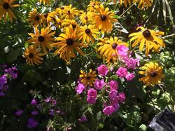 Contrasting color perennial garden