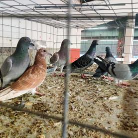 Stop aux captures de pigeons par la STIB
