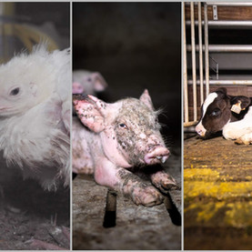 Projets d'élevages d'animaux : quelles raisons de s'y opposer ?