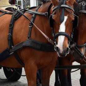 Que penser de l'utilisation de chevaux pour le ramassage scolaire ?